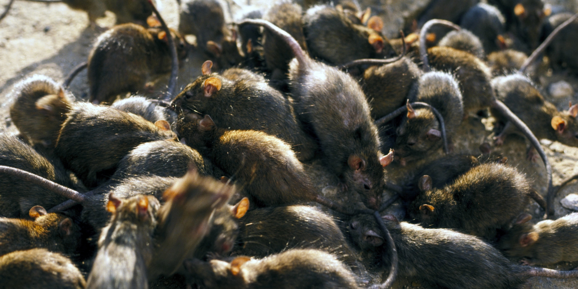 Rodent Infection and Infestation: Signs and Preventions |EDF