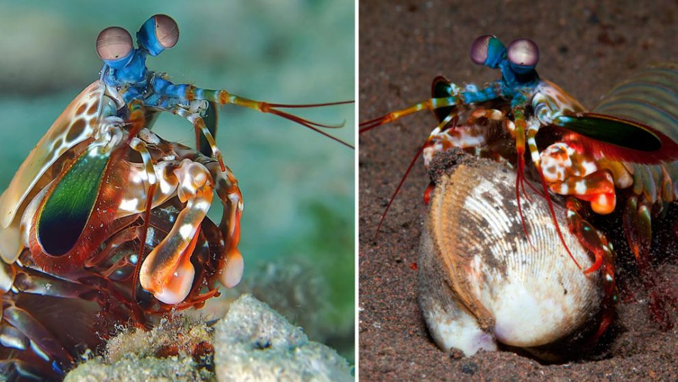 4 Reasons Why Mantis Shrimp is the Deadliest Creature in the Ocean